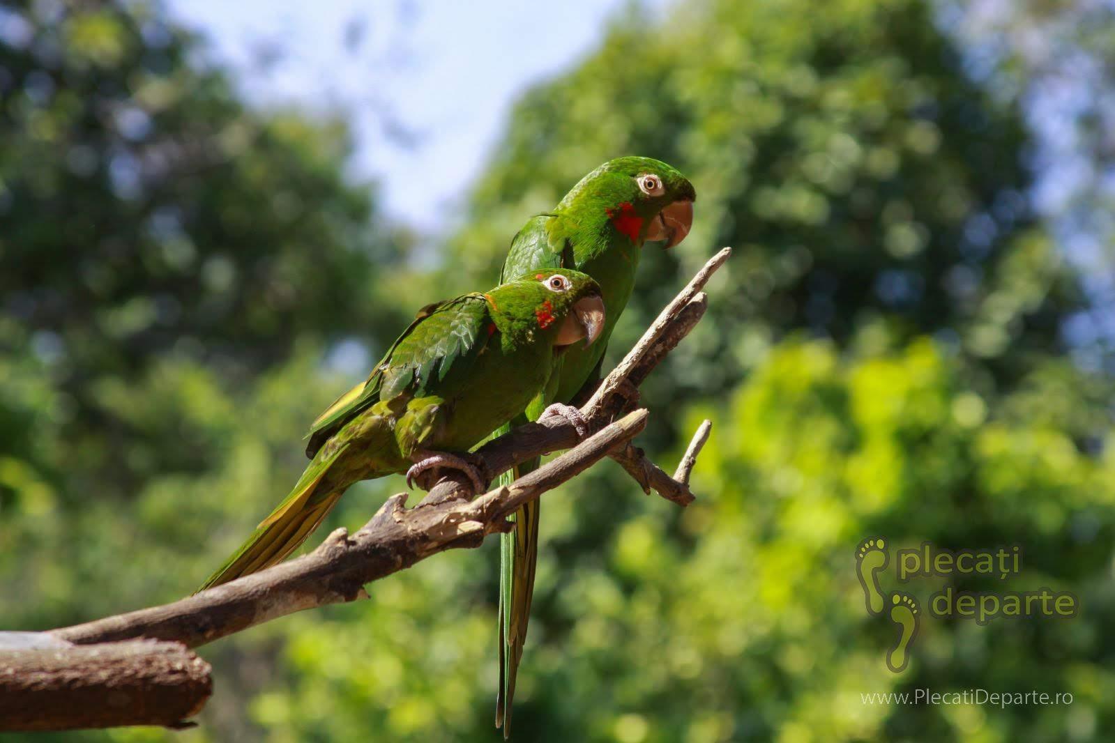 Papagali verzi, Orquideario Amazonico, Tarapoto, Peru. Green parrots at Orquideario Amazonico, Tarapoto, Peru