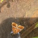 Yellow-shouldered slug moth