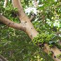 Goolar Fig