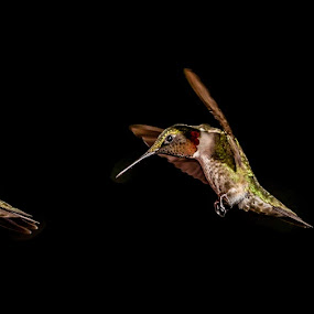 Hummingbird by Luke Popwell - Novices Only Wildlife ( bird, flight, nature, hummingbird, fast, small, flower, animal )
