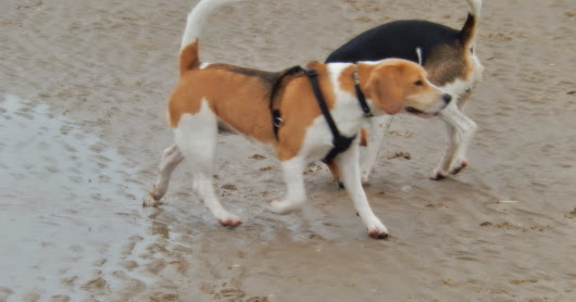 Lytham Beagle Walk - May 2014