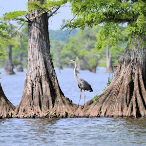 Heron on Reelfoot Lake by Sidney Vowell - Novices Only Wildlife