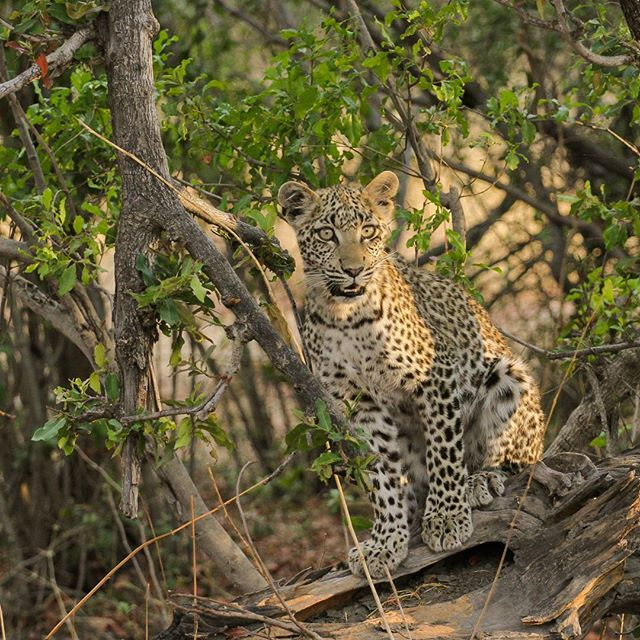 Leopard cub - Phefo@wearewilderness by Ryan Weakley - Uncategorized All Uncategorized ( mombo, wildernesssafaris, okavangodelta, botswana )