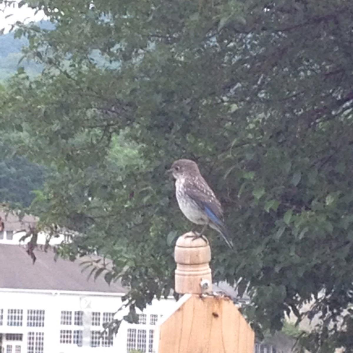 Eastern Bluebird - immature