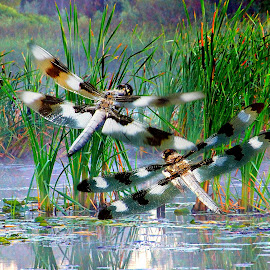 Two Dragonflies by Gaylord Mink - Digital Art Animals ( dragon fly, animals, insects, water, marsh )