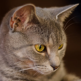 Pretty Pewter by H. Ava-Lyn Smith - Animals - Cats Portraits ( pet photography )