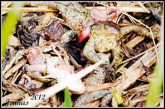Photo: Agrochemie: Menschen mit Chemiewaffen gegen Amphibien in unserer Natur (collateral damage)  So viele tote Frösche, Kröten und Unken (auch Fische) habe ich noch nie gesehen. Vermutlich ist der Schaden ausgegangen von dem nahegelegenen Maisacker, der nach Aussagen von Anwohnern, zuvor mit einem Gift gespritzt worden sein soll. Das vergiftete Wasser fliest, weiter über den Stegbach, Conventer See (Naturschutzgebiet bei Rostock) Doberan / Heiligendamm in die Ostsee und wird auch von Fischzüchtern benutzt?  Bei Überschwemmungen läuft, wie im Jahre 2011 passiert, das giftige Wasser auch in die Häuser der Menschen in Lambrechtshagen. Der Glashäger Mineralbrunnen (Gerolsteiner Gruppe) in Bad Doberan könnte in seinem Wassereinzugsgebiet auch betroffen sein.