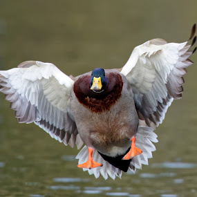 Duckie Water Landing by Raphael RaCcoon - Animals Birds ( bird, duck )