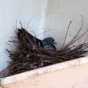 Common pigeon. Paloma común