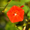 "scarlet morning glory, scarlet creeper, star ipomoea, trompillo or ""ivy-leaved morning glory"