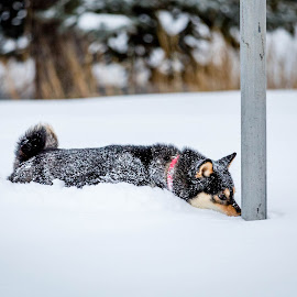 Double Dog Dare by Chad Roberts - Animals - Dogs Playing ( christmas story, tongue, snow, stuck, winter, cold, dog,  )