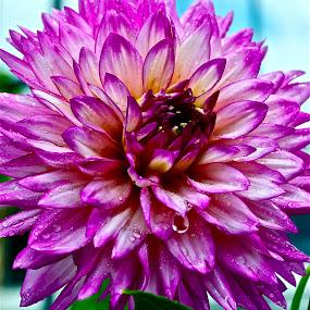 by Jennifer Tsang - Nature Up Close Flowers - 2011-2013 ( purple, pink, waterdrops, dahlia, flower )