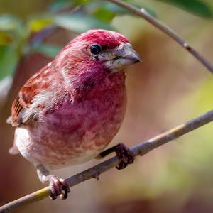 Purple Finch-8.jpg