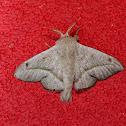 Moth - Druentica zikana
