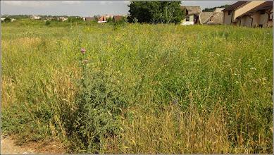 Photo: Scaiete (Cirsium vulgare) - dinTurda,  zona strazii Fabricii - 2019.06.22