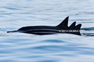 Photo: ABSTRACT CATEGORY, FINALIST. Dolphins swimming near Honokohau Harbor, Kona, Big Island. Photo by Marie Frost, Dexter, Michigan.
