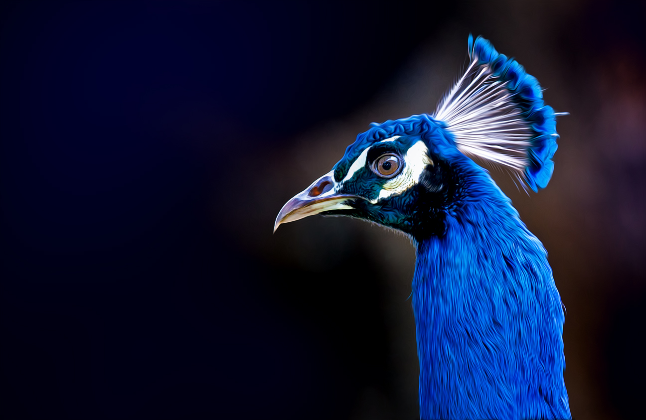 Photo: Peacock Portrait  #paintography curated by +Ray Bilcliff +Sherry McBriar +Gail Beerman  #PlusPhotoExtract