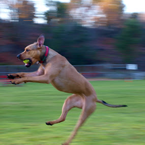 Ruby by Vanessa Latrimurti - Animals - Dogs Playing ( canine, ball, jumping, catch, action, pit bull, fun, blur, fast, motion, athlete, athletic )