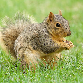 Squirrel Breaking open Seed by Keith Lowrie - Animals Other Mammals ( fox squirrel, squiirel, small land mammals, rodent, brown squirrel )