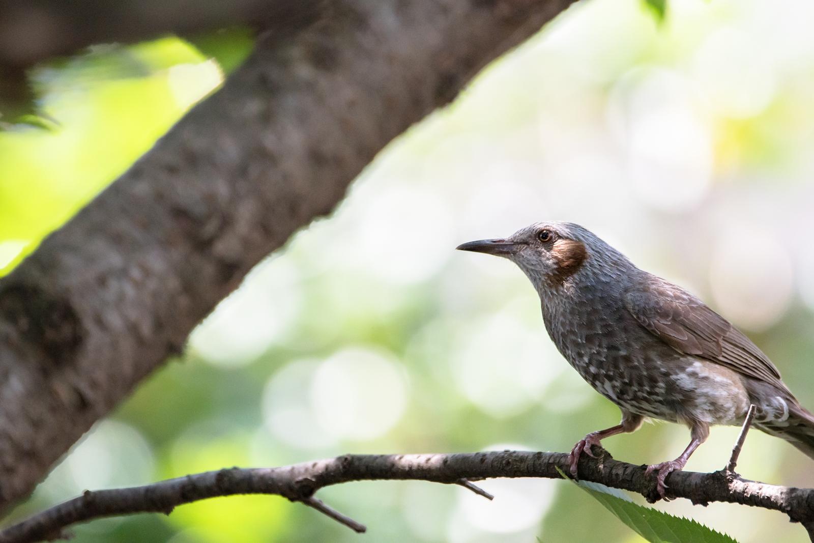 Photo: 「命みなぎる輝き」 / Radiance of green life force.  力強い光 木々や葉が精一杯に輝く ぼくらを包む緑が 命の光を溢れさす  Brown-eared Bulbul. (ヒヨドリ)  Nikon D500 SIGMA 150-600mm F5-6.3 DG OS HSM Contemporary  #birdphotography #birds #kawaii #ことり #小鳥 #nikon #sigma  ( http://takafumiooshio.com/archives/2762 )