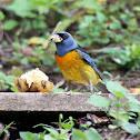 Sanhaçu-papa-laranja (Blue-and-yellow Tanager)