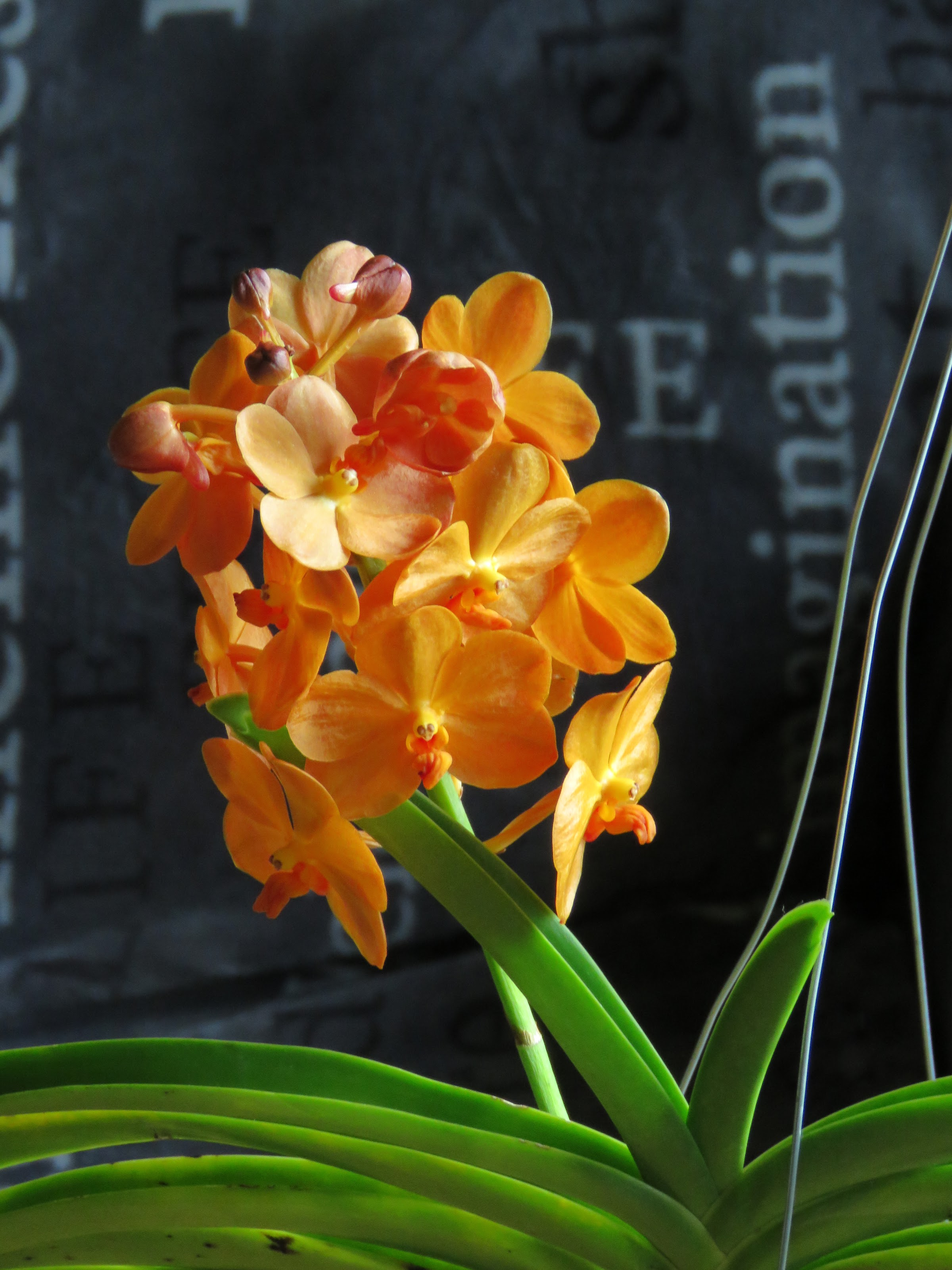 Les orchidées de Grigri - Page 8 Jcfn1Q_kvWSaDZxfHqYE2pBow1ZvpTJGaWO8SI3eioyw2as1sjsvSYJ6BDEpXJLMoJ85khBbnu6XdCWl4PytYw-QwrOgIbJLVptEX8pvTxUDU4ZyL_6vuB8i08YOKpt09EcI_BcRlso=w2400