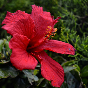 Red flower by Anastasis Agathokleous - Flowers Single Flower ( red, single flower, cyprus, flower, red flower )