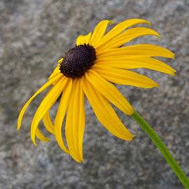 by Marie Schmidt - Flowers Single Flower (  )