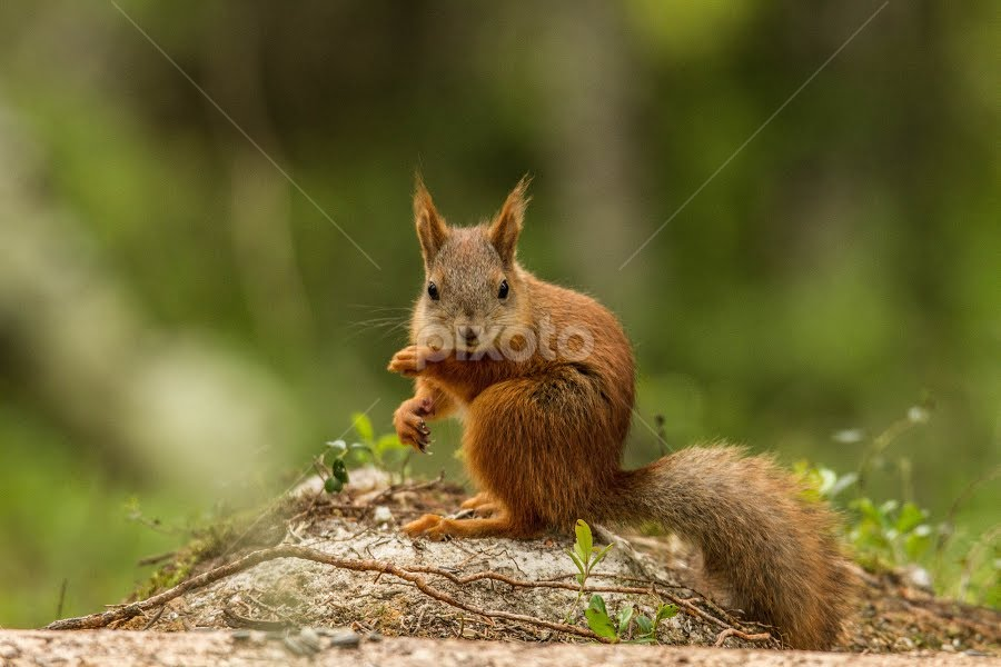 The squirrel by Garry Chisholm - Animals Other Mammals ( nature, mammal, red squirrel, rodent, wildlife, garry chisholm, finland )