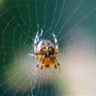 European Garden Spider (female)