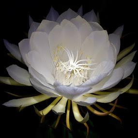 KUSUMA WIJAYA @ NIGHT by Dhanu Wijaya - Nature Up Close Flowers - 2011-2013