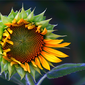 Sunflower Moment by James Morris - Flowers Flowers in the Wild ( flowers, blooming, wildflowers, bloom, nature, sunflowers, sunflower,  )