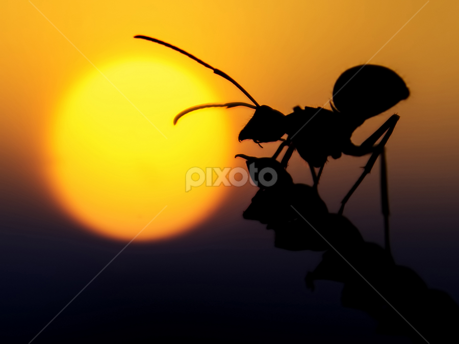 Ants silhouette by Djeff Act - Animals Other ( dawn., silhouette, sunset, ant, animal )