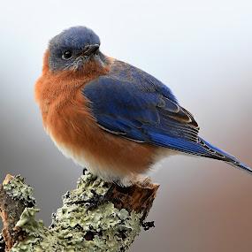 Eastern Bluebird by Steven Liffmann - Animals Birds (  )