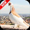 Pigeon Wallpaper HD 🐦 icon