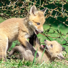 Red Fox Kits Playing by Debbie Quick - Animals Other Mammals ( rhinebeck, debbie quick, nature, outdoor photography, nature up close, nature lovers, natures best shots, debs creative images, new york, fox, outdoor magazine, kits, wildlife photography, red fox, outdoors, animal photography, mammal, animal, wild, hudson valley, wildlife )