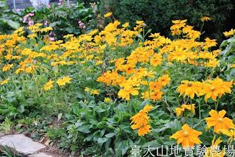 Photo: 拍攝地點: 梅峰-溫帶花卉區 拍攝植物: 金光菊 拍攝日期:2013_09_28_FY