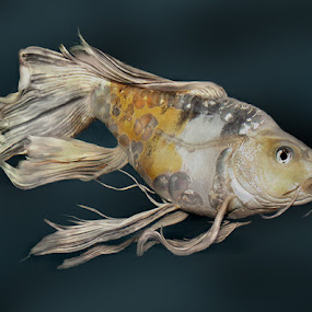 Butterfly Koi by Janna Morrison - Animals Fish (  )