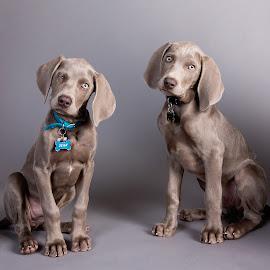 Weimaraner puppies 1 by Jen St. Louis - Animals - Dogs Puppies ( studio, dogs, weimaraner puppies, portrait, puppies, weimaraners,  )