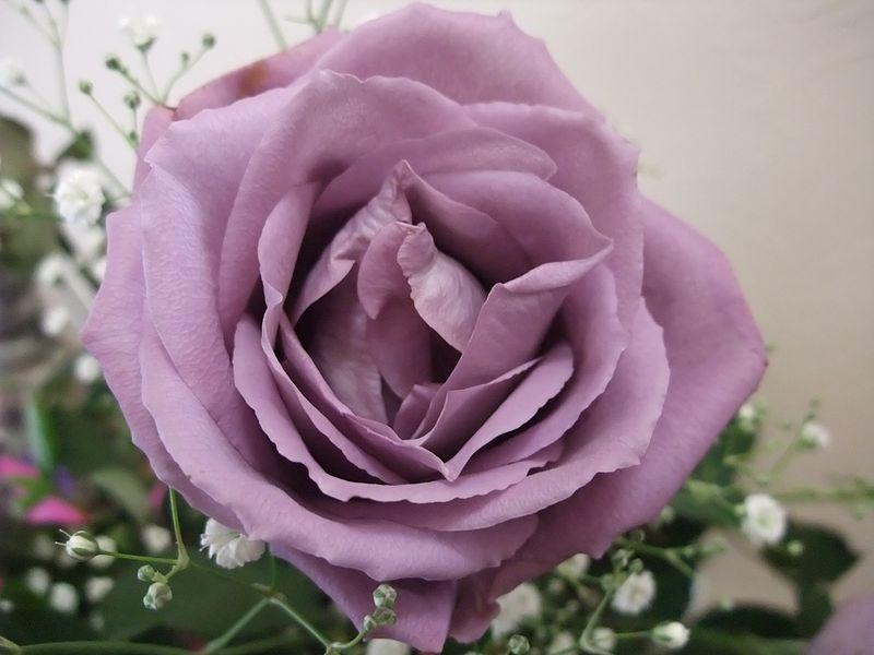 File:Blue Rose APPLAUSE.jpg