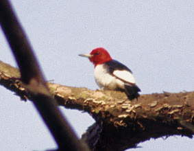Photo: Red-headed Woodpecker adult, somewhere in Arkansas