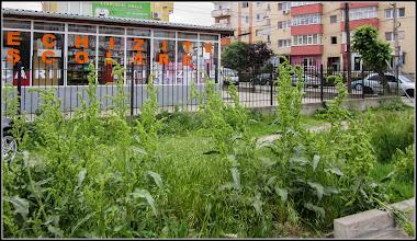 Photo: Știr (Amaranthus retroflexus) - de pe Calea Victoriei, Mr.2 - 2017.05.20