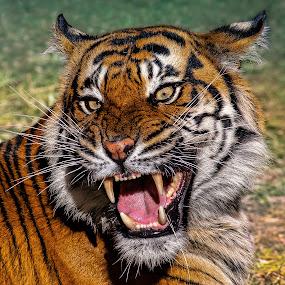 Ferocity by David Hammond - Animals Lions, Tigers & Big Cats ( cats, animals, tiger, captive, big, portrait,  )