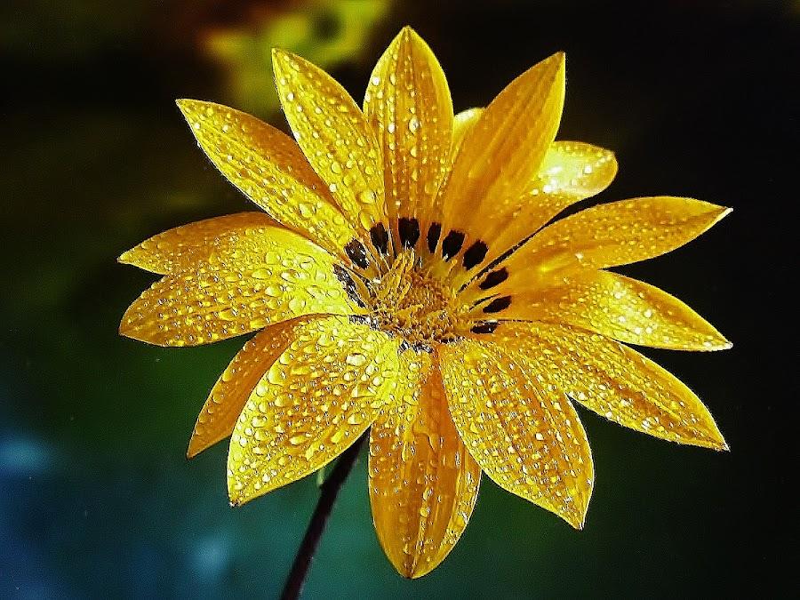 Happiness ! by Giovanna Pagliai - Flowers Single Flower ( fresh, joy, drops, sunshining, springtime, natural )