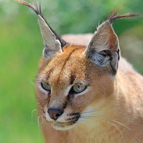Caracal Lynx by Sam Sampson - Animals Lions, Tigers & Big Cats ( cat, caracal lynx, ears, brown, feline, eyes )