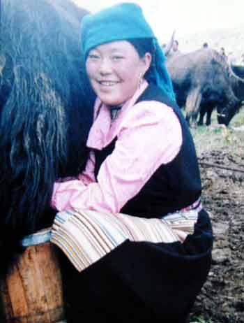 Milking yaks.