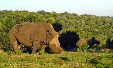 Photo: White rhinoceros