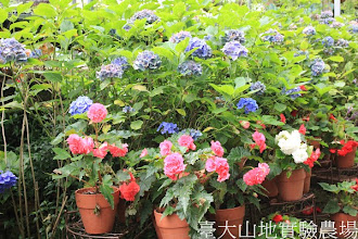 Photo: 拍攝地點: 梅峰-溫帶花卉區 拍攝植物: 球根秋海棠(下方)和繡球花(上方) 拍攝日期:2012_07_30_FY