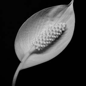White by Jack Noble - Artistic Objects Other Objects ( jack nobre, canada, toronto, flowers, photography )