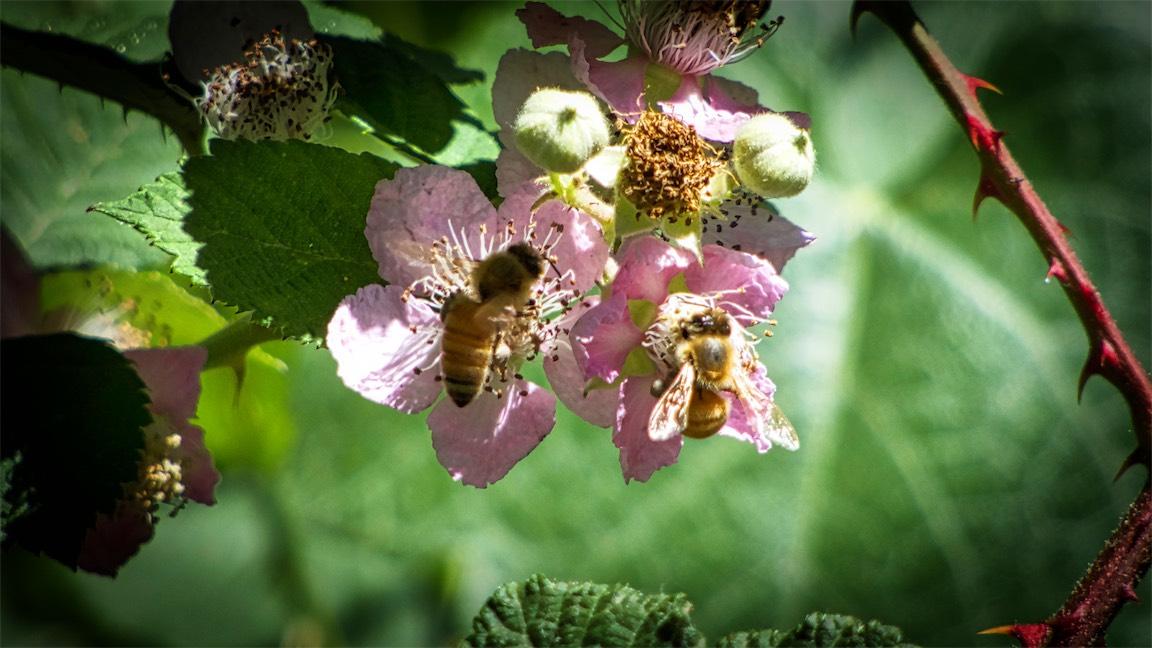 Bramblin Bees.jpg